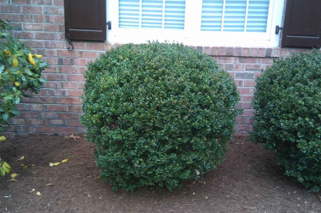 Foundation Shrubbery